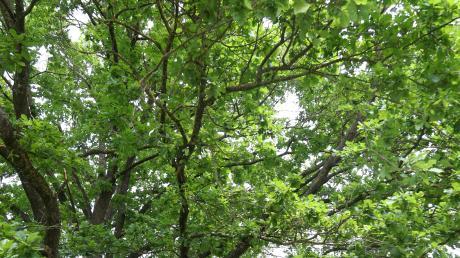 Mehr Bäume - das wünschen sich Mitglieder der SPD Vöhringen.