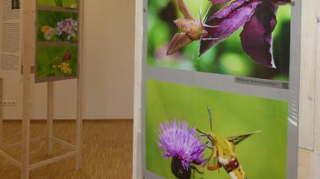 """In der Ausstellung """"Schmetterlinge im Günztal"""" sind Bilder des Ehepaars Ulrike und Achim Buhani zu sehen. Am kommenden Wochenende öffnet sie zum letzten Mal."""
