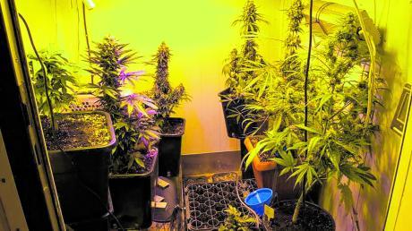 Das ist ein Teil der Pflanzen, die die Polizei im April auf einem Untereicher Anwesen sicherstellte. In einem weiteren Raum fanden sie rund 50 Stecklinge. Der Mann behauptet, er habe zum Eigenbedarf angebaut.