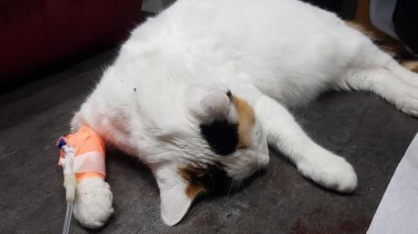 Diese Katze ist eine der drei betroffenen Tiere, die offenbar nach dem Verzehr eines präparierten Wurstköders in Weißenhorn Vergiftungserscheinungen zeigten. Für die behandelnde Tierärztin Ursula Klingbeil aus Gannertshofen besteht kein Zweifel, dass ein Tierhasser am Werk ist.