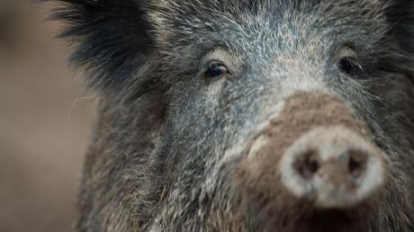 Einen Wildunfall meldet die Polizei aus Dasing-Höbstl. Zwei Wildschweine waren vor ein Auto gelaufen.