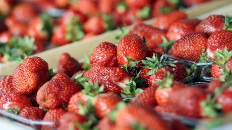 Süß, rot, saftig: Frisch gepflückte Erdbeeren gehören für viele zum Sommer, wie hier vom Feld des Obsthofs Zott zwischen Buch und Illertissen. Vor allem im Zuge der Lockerung der Corona-bedingten Einschränkungen freuen sich viele über einen Besuch der Erdbeerfelder im Landkreis.