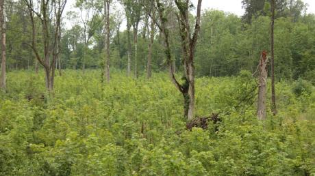 Der Illerauwald zwischen Illertissen und Altenstadt besteht zu mehr als 90 Prozent aus Eschen. Doch das Eschentriebsterben befällt seit einigen Jahren zahlreiche Bäume. Diese Umbaufläche im Altenstadter Gemeindewald weist deshalb einen verjüngten Eschenbestand mit einzelnen Alteschen und Biotopbäumen auf.