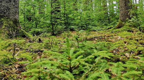 """Die Wälder tragen viel zur Schönheit unserer Region bei. Damit das so bleibt, muss viel getan werden: """"Die frühzeitige Pflanzung der jungen Buchen unter die großen Fichten, wie hier im Gannertshofener Nutzungsrechtlerwald, sorgt für feines Holz und ein schönes Waldbild,"""" erklärt Förster Bernd Karrer."""