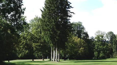 """Dieses Fichtenquartett, auch """"die vier Grazien"""" genannt, belebt das Landschaftsbild auf dem Platz des Golf Clubs Ulm. Allerdings stehen die Bäume mitten in den Bahnen und sind daher bei den Golfern nicht sehr beliebt."""