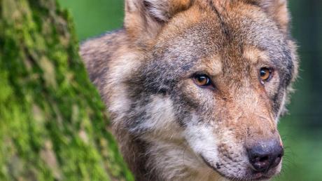 Weil er geglaubt hatte, mehrere Wölfe zu sehen, ist ein Mann in Ingolstadt in den Auwadsee geflüchtet. Für die tatsächliche Existenz der Tiere gab es keine Belege.