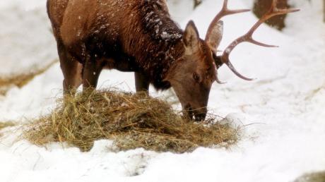 Soll das Wild im Winter gefüttert werden oder besser verhungern, wie eine Grünen-Politikerin fordert?