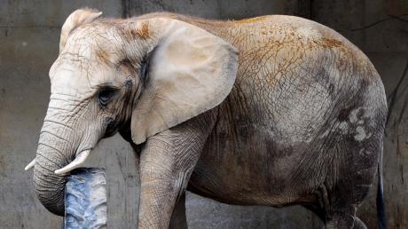Elefant Sabi verletzte am Donnerstag einen Pfleger im Augsburger Zoo.