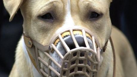 Der Umgang mit sogenannten Kampfhunden war jetzt Thema im Ziemetshauser Marktrat. Unser Symbolbild zeigt einen Staffordshire-Terrier. Immer wieder betonen Experten, dass der richtige Umgang der Hundehalter mit ihren Tieren entscheidend für deren Wesen ist.