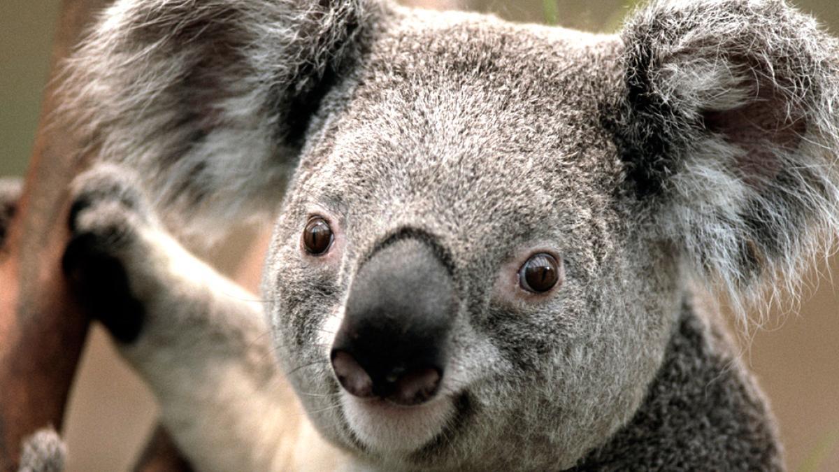 symboltier australiens  koalas in not  australien will