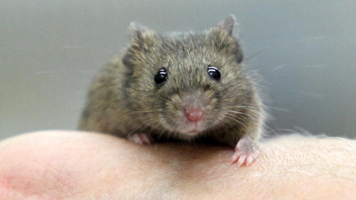 Ungewöhnlich Draht Mäuse Kauen Fotos - Der Schaltplan - greigo.com