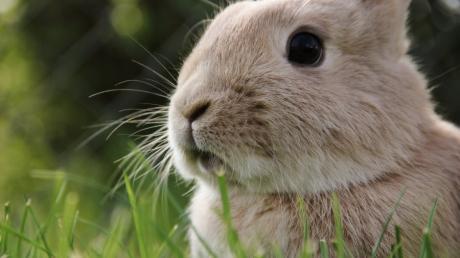 In letzter Zeit schlug der Kaninchendieb vier Mal zu.