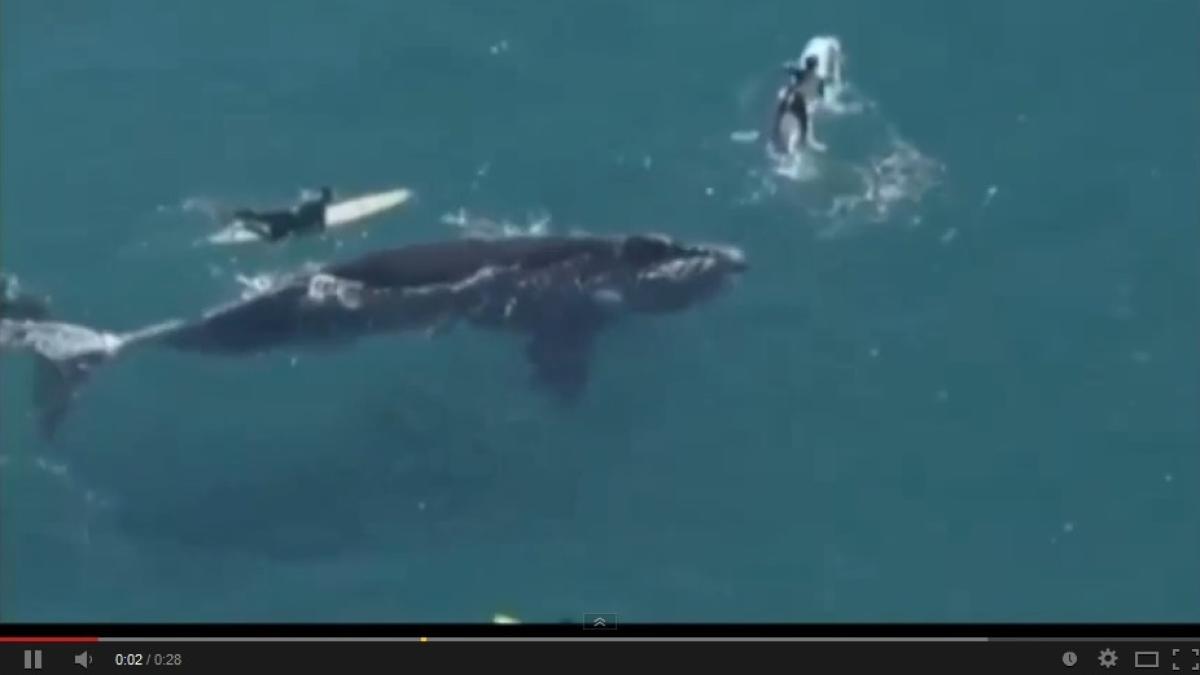 australien  video  riesenwal  u00fcberrascht surfer vor sydney