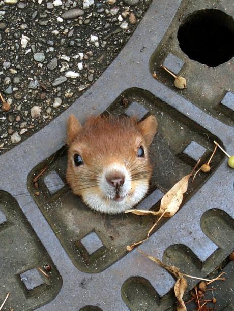 Kostenlose grobe Eichhörnchen