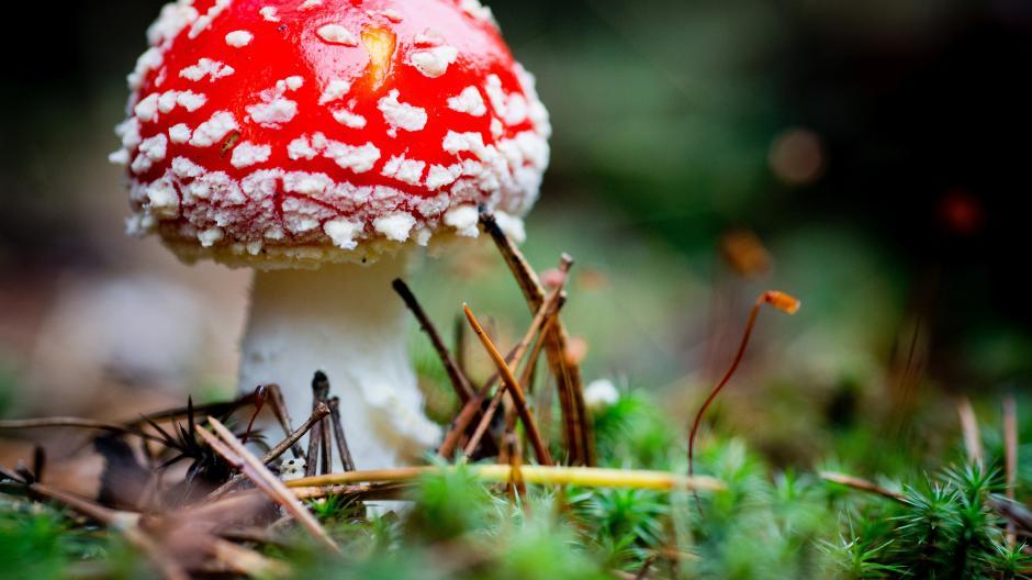 Der Fliegenpilz ist giftig, das weiß jeder. Oft ist die Bestimmung der Pilze aber nicht so einfach.