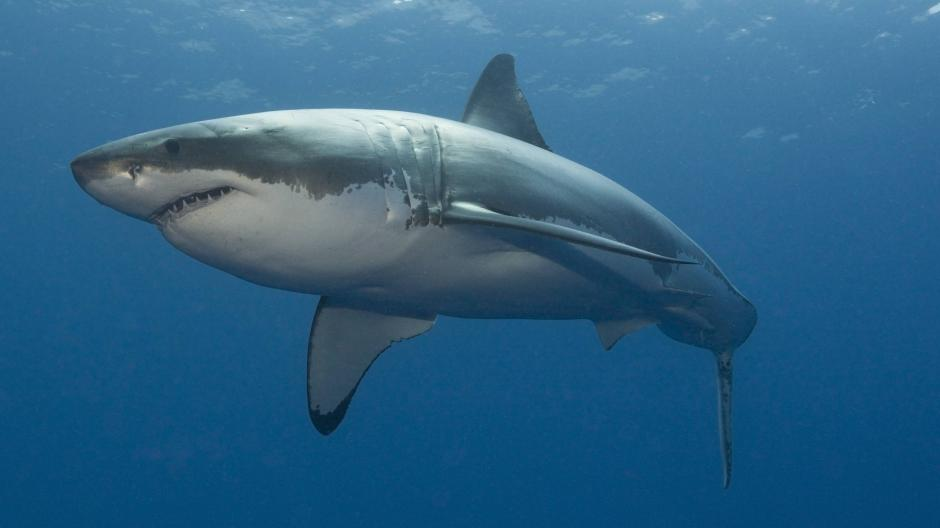 cabrera weißer hai bei mallorca gesichtet promis kurioses tv