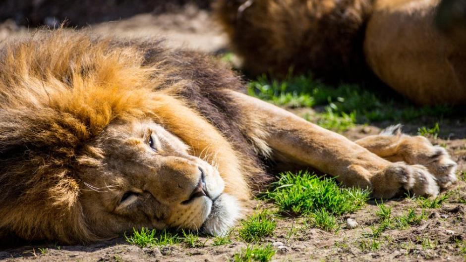 Google: Wie macht der Löwe? - Tiergeräusche gibt es jetzt ...