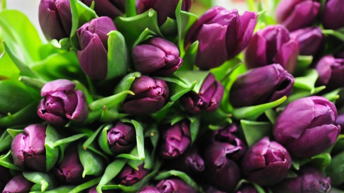 ratgeber mit diesen tipps bleiben tulpen l nger frisch geld leben augsburger allgemeine. Black Bedroom Furniture Sets. Home Design Ideas