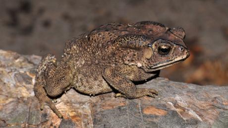 Schwarznarbenkröte