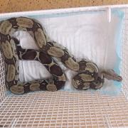 Tigerpython Python