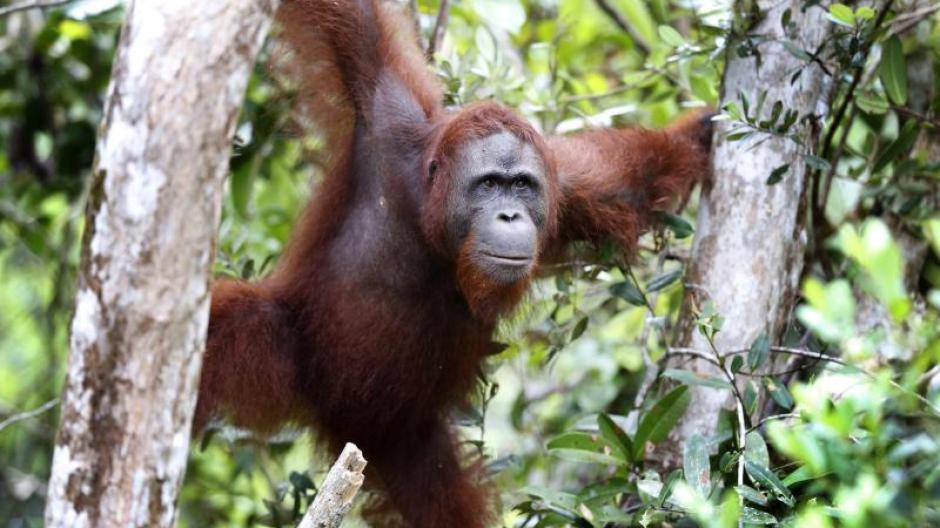 Ein Orang-Utan klettert zwischen Bäumen im Tanjung Puting National Park in Kalimantan auf Borneo. Allein in den vergangenen zwei Jahren wurden auf der Insel zur Gewinnung von Palmöl 70.000 Hektar Regenwald gerodet. Foto: Barbara Walton/EPA