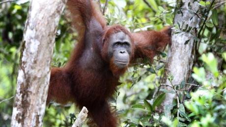 Der Lebensraum von Orang Utans wird immer weiter zerstört.
