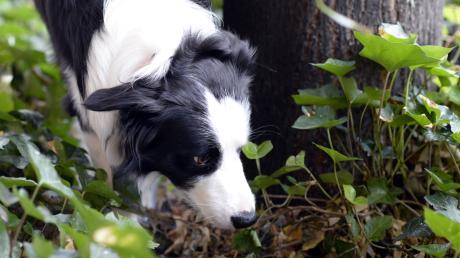 Die Polizei warnt Hundebesitzer vor  giftigen Ködern.