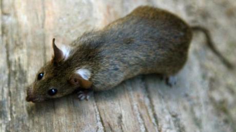 Ratten hatten in Nizza für einen Ausfall der Torlinientechnologie gesorgt.
