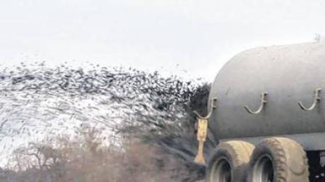 Gülle, die in einem Wasserschutzgebiet abgelassen wird, kann zu einer Verunreinigung des Wassers führen.