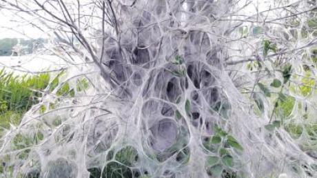 Verpackungskünstler Christo könnte es nicht besser machen: Seidenspinnerraupen verwandeln Bäume in gespenstische Gebilde – gesehen von Alois Thoma am Oberrieder Weiher und von Klaus Kleiner bei Mindelzell.