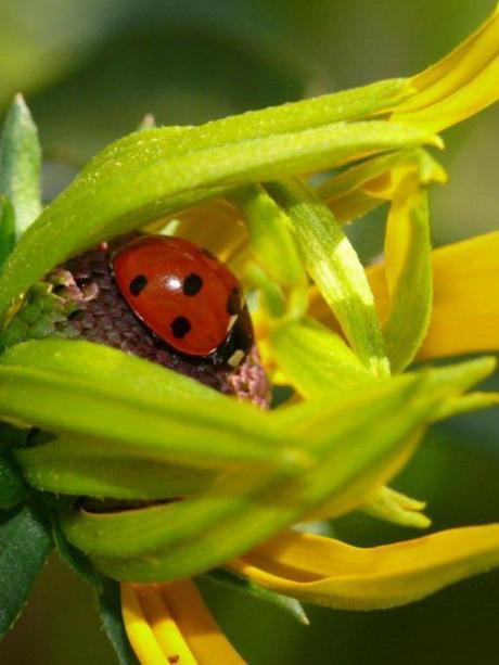 Frauenmantel insekten