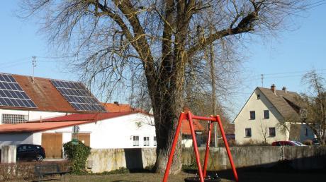 Prägend in Neuburg: Die alte Weide am Spielplatz bei der alten Turnhalle. Jetzt muss sie aus Fäulnisgründen gefällt werden.  Foto: Dieter Jehle