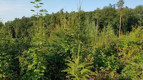 Ziel des Waldumbaus: mischbaumartenreiche Bestände.