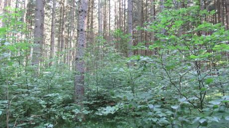 So sollte die Umwandlung unserer Wälder aussehen: Eine Mischung von Laub- und Nadelwald, beispielhaft zeigt sich dies im Klosterwald südöstlich von Ichenhausen.