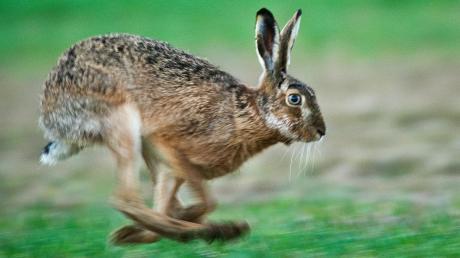 Dieses Exemplar der Gattung Lepus europaeus erfreut sich offensichtlich bester Gesundheit. Bei Balzhausen wurde jedoch ein totes Tier entdeckt, dass Erreger der Tularämie in sich trug. Die umgangssprachlich als Hasenpest bezeichnete Krankheit ist auch auf den Menschen übertragbar.