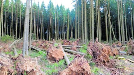 Hier hat Sturm Sabine einige große Fichten umgeworfen. Oft fielen auch nur einzelne Bäume um. Das Amt für Ernährung, Landwirtschaft und Forsten appelliert an Waldbesitzer, das Sturmholz rasch aufzuarbeiten und aus der Fläche zu holen, damit diese Bäume keine Angriffsflächen für den Borkenkäfer liefern. Das Bild stammt aus dem Raum Krumbach.