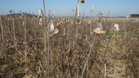 Futter und Schutz bieten die Blühfelder von Landwirt Franz Bissinger in Ellzee den Tieren im Winter. Bald werden die Pflanzen untergepflügt und neuer Samen ausgesät.