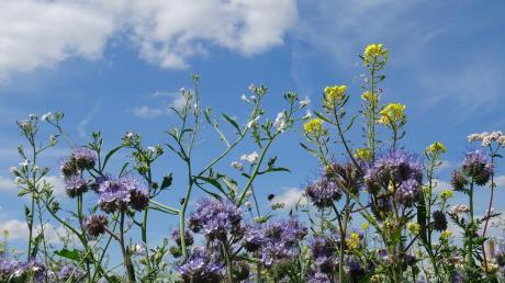 Auf den Blühflächen von Landwirt Bissinger kommen ständig neue Pflanzen zum Blühen. Ein Besuch lohnt sich.