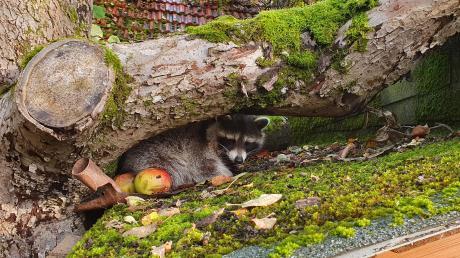 Dieser Waschbär machte es sich einen Tag lang auf einem Schuppen in Neuburg am Max-Mayer-Berg gemütlich. Mittlerweile ist er abgezogen.
