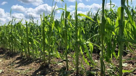 Vor allem auf den Maisfeldern richtete der Hagelschauer am Sonntagnachmittag rund um Schwifting deutlich sichtbare Schäden an.