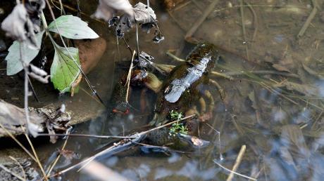 Der Loibach bei Igling hat wenig Wasser.Dort leben unter anderem Krebse.