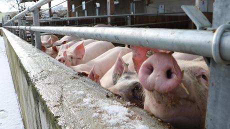 Die Afrikanische Schweinepest alarmiert nicht nur die vereinzelten Schweinehalter im Landkreis.