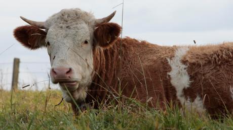 Ein entlaufener Stier hat am Montag für einenPolizeieinsatz gesorgt.