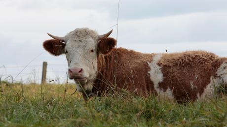 Wenn ein Stier auf einen Menschen losgeht, wird es meist gefährlich. Jetzt wurde bei Windach ein Landwirt von einem Stier schwer verletzt.