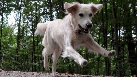Ärger über freilaufende Hunde gibt es in Hofstetten.