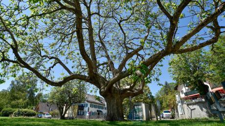 Schondorf ist die einzige Gemeinde im Landkreis Landsberg, in der es eine eigene Verordnung zum Schutz des örtlichen Baumbestandes. Nun ging es im Gemeinderat um eine Verlängerung.