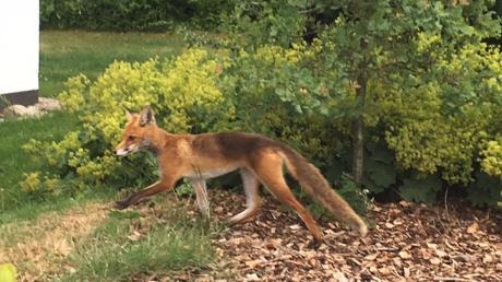 Füchse können auf der Straße zur Gefahr werden - wie jetzt bei Mindelheim.