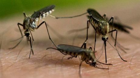 Vor allem in Eching, aber auch in anderen Gemeinden sind Mücken im Sommer oft eine Plage.