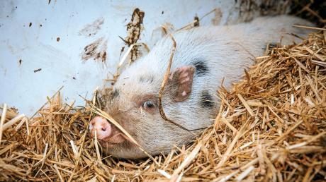 Das besitzerlose Minischwein, das bei Schwiftings Bürgermeister Georg Kaindl untergekommen ist, soll auf einen Gnadenhof.