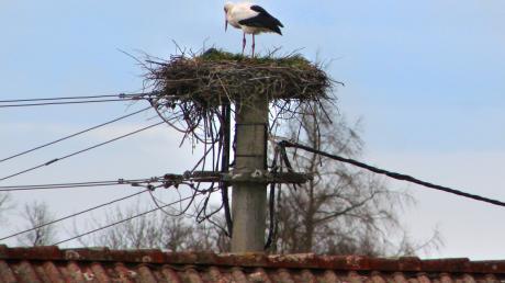 Der erste Storch ist in Apfeldorf angekommen. Obwohl erst Februar, hat er das Nest im Kapellenweg auf einem Strommast bezogen.